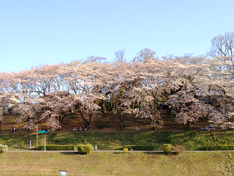 春爛漫、桜観てきました。