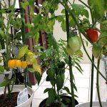 家庭菜園でフルーツトマト