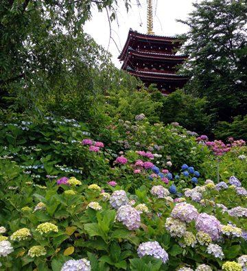 松戸の本土寺に紫陽花(あじさい)を見に行ってきた。