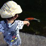 にしき鯉に興味深々