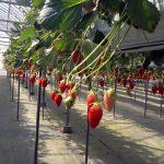 高設栽培のいちご狩り