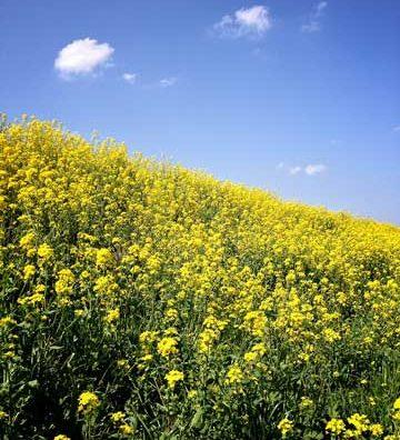 江戸川土手を黄色く染める菜の花が見頃です。