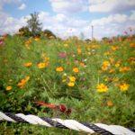 まつぶし緑の丘公園のコスモス畑