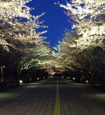 柏の葉公園で夜桜を観てきました。