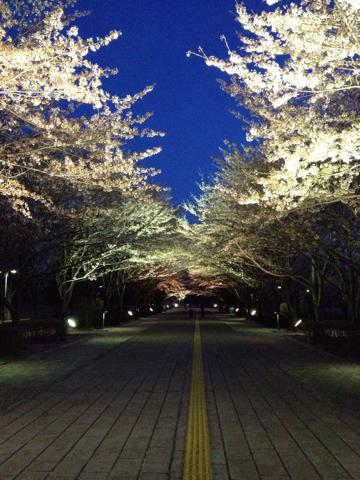 柏の葉公園の夜桜