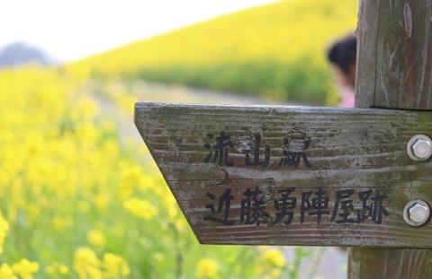 春の香り漂う。流山本町付近、江戸川沿い土手の菜の花が満開です。