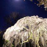 清瀧院の枝垂桜