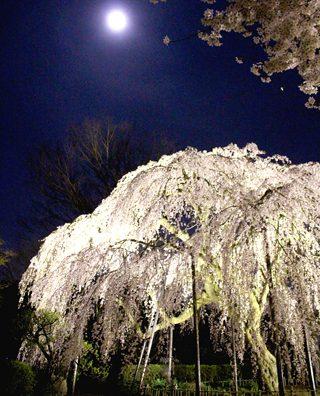 荘厳なたたずまい「清瀧院のしだれ桜」。