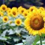 柏あけぼの農業公園向日葵