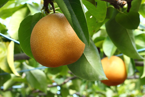 みずみずしい梨。初清園で「梨狩り」を堪能。