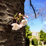 流山総合運動公園の桜