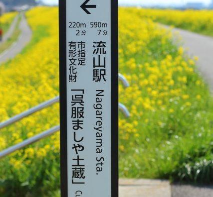 「菜の花の輝く大地」。江戸川堤の菜の花が見頃です。