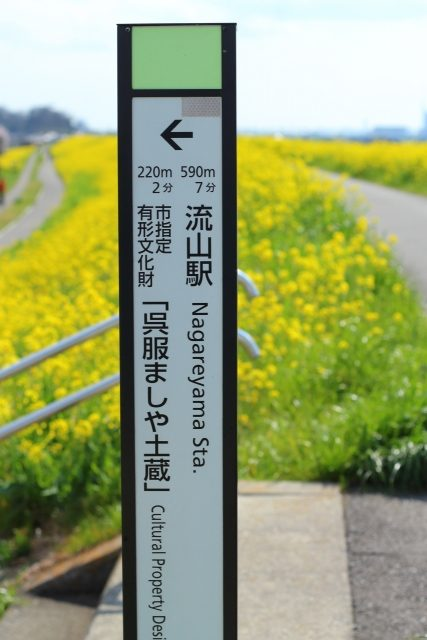 江戸川堤の菜の花