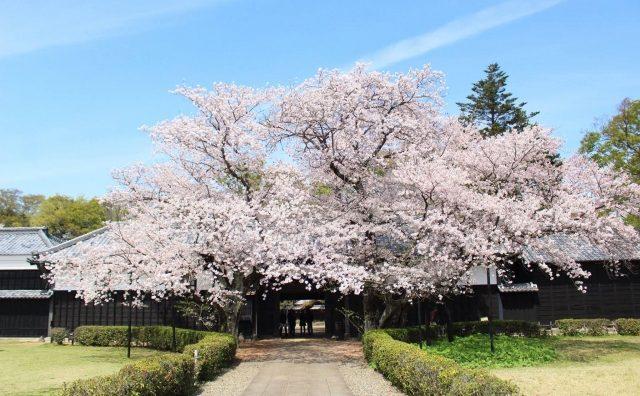 柏市「旧吉田家住宅歴史公園」の長屋門桜が圧巻。