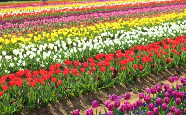 まるで虹色絨毯。柏市あけぼの山農業公園のチューリップ畑。
