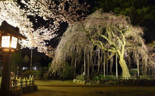 流山「清瀧院」の枝垂(しだれ)桜が見頃です。