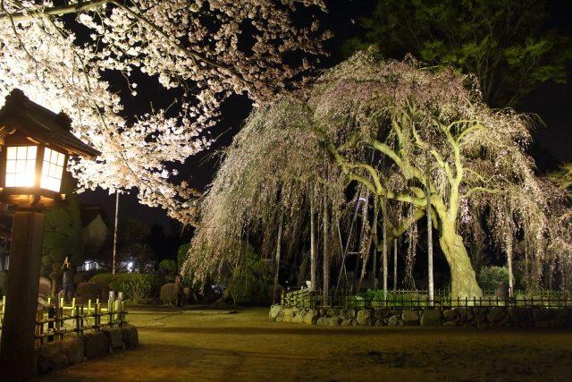 流山「清瀧院」の枝垂(しだれ)桜
