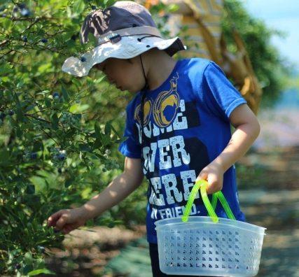 子供達に最適。流山の「吉田ブルーベリー園」でブルーベリー摘みしてきた。