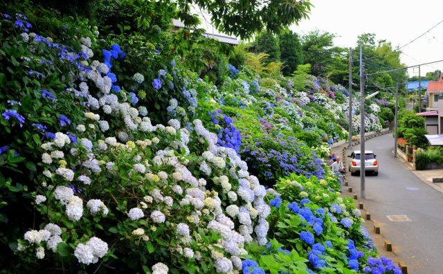 雨降りでも楽しめる松戸・流山のあじさい観賞。