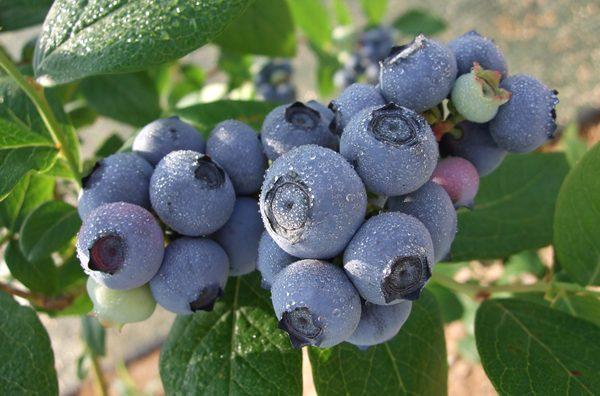 流山市内の果樹園で「ブルーベリー摘み取り」が間もなくはじまります。