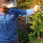 レインボーファミリー農園の枝豆収穫