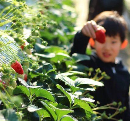 「イチゴの日」にいちご狩り!真っ赤な大きな苺に笑顔。