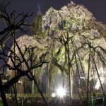 清龍院の枝垂れ桜
