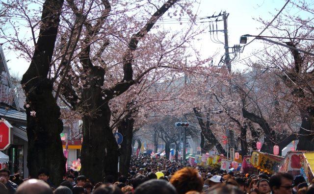 日本の道100選に指定の「常盤平さくらまつり」に行ってきました。