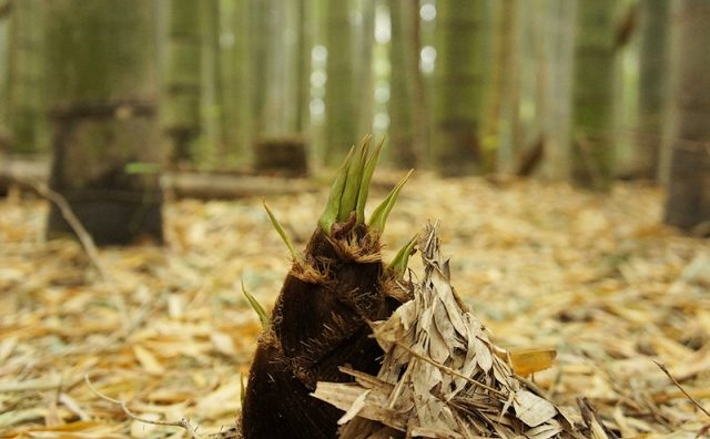 柏市の自然農園で「釜戸で丸焼きたけのこ掘り!」