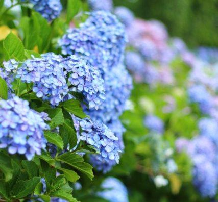 花よりだんご。本土寺の紫陽花散歩。