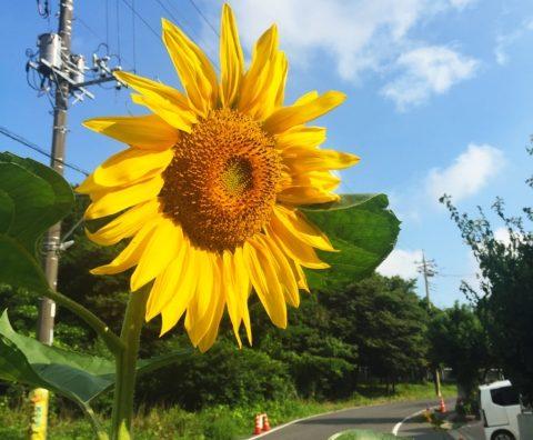 太陽の花「ひまわりまつり」が始まります!