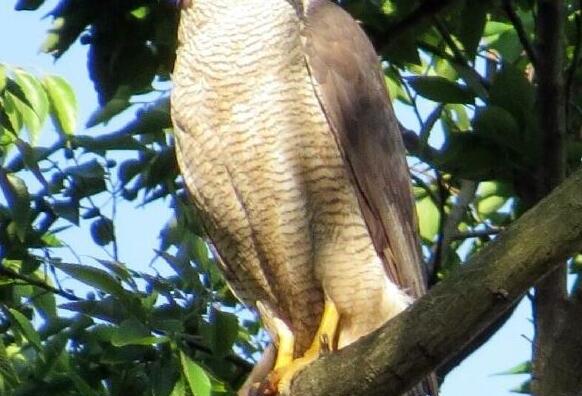 流山市の鳥に「オオタカ」が候補。市の鳥制定アンケート実施中です。