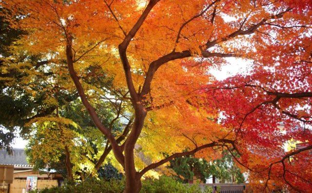 緑から赤へのグラデーションが見事です。「本土寺」の紅葉。