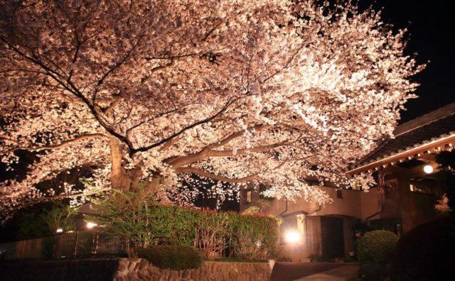 夜桜日和。流山の桜満開です。