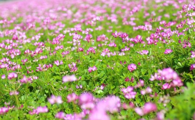 一面のれんげ畑、坂東市「第7回れんげまつり」が開催されます。