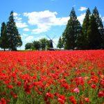 あけぼの山農業公園のポピー畑