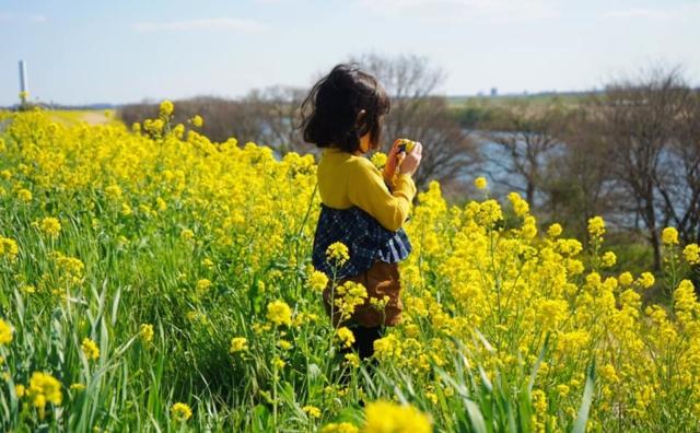 江戸川土手の菜の花求めて。
