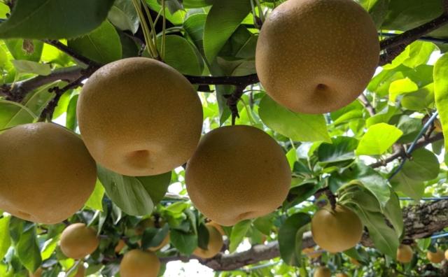 千葉の名産「小川園」の梨狩り。