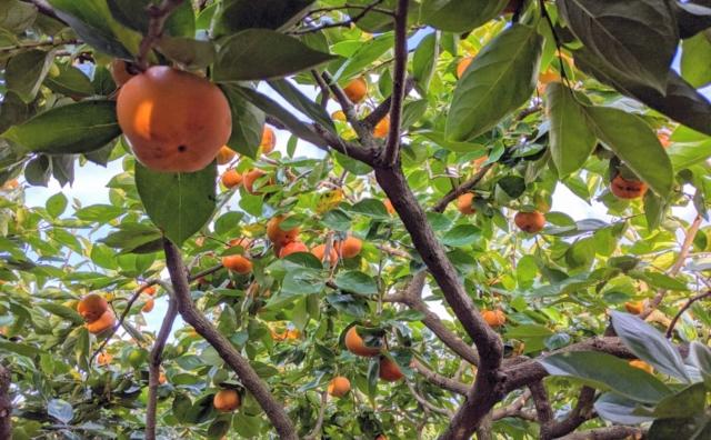 あの珍百景です 「五十嵐農園」の柿直売。