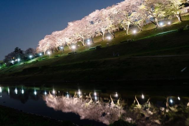 利根運河夜桜