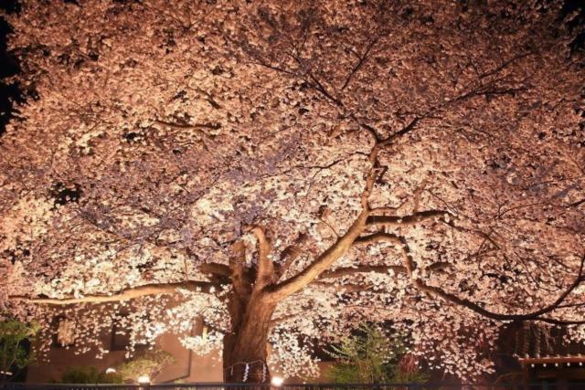 浄蓮寺夜桜