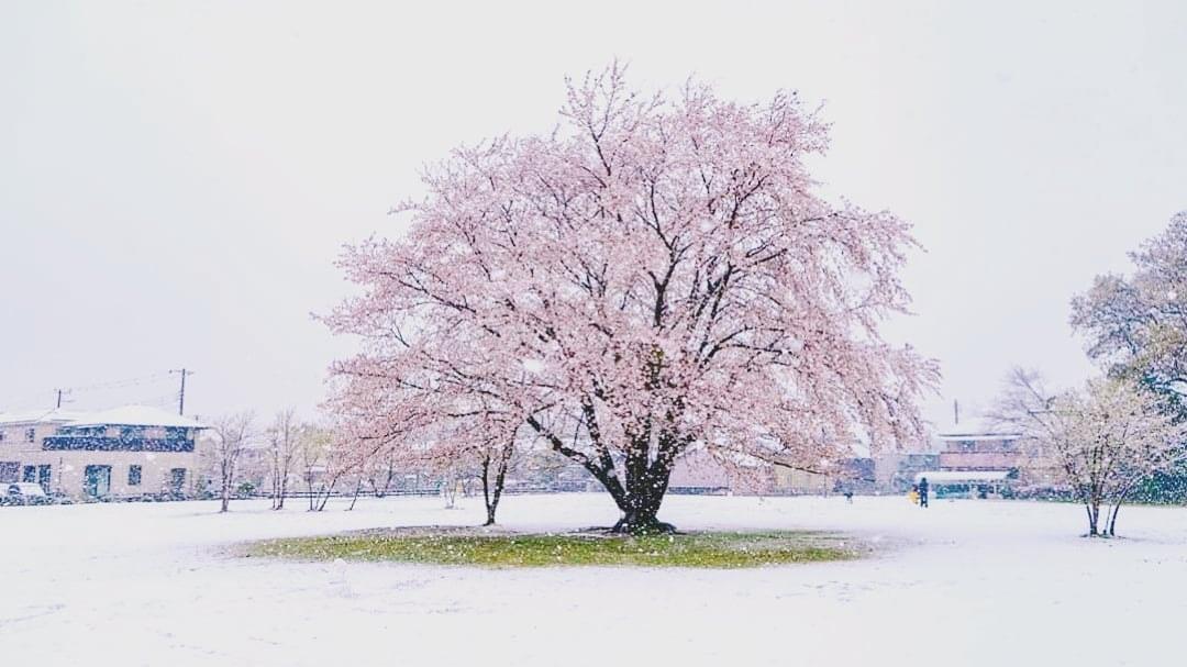 一本桜広場