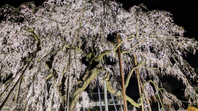清瀧院枝垂れ桜